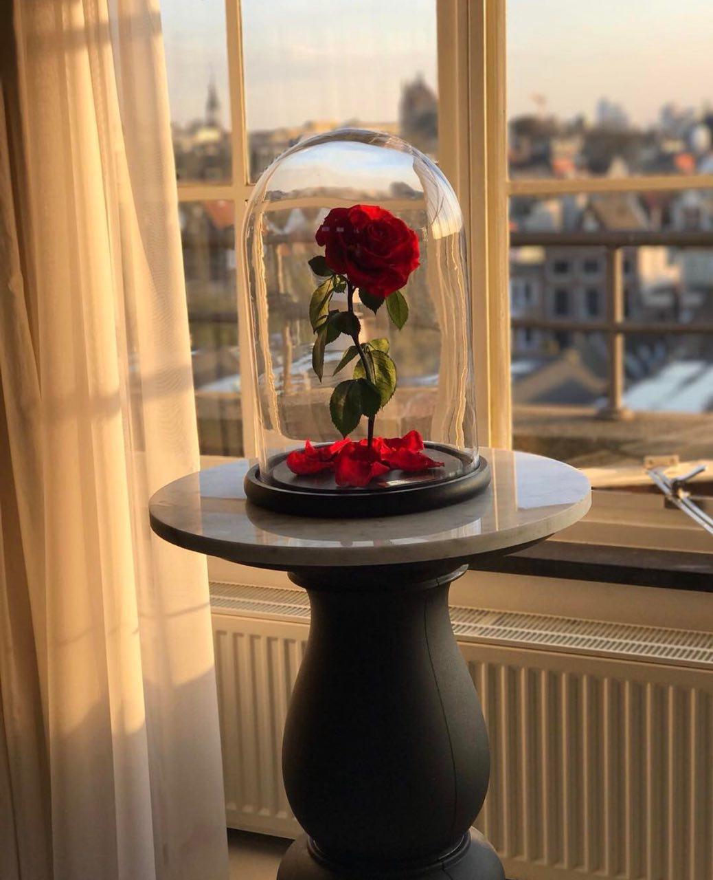 گل رز دیو و دلبر جاودان با ساقه و برگ ماندگار و ابدی
