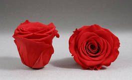 رز جاودان قرمز روشن رزامور ROSE AMOR